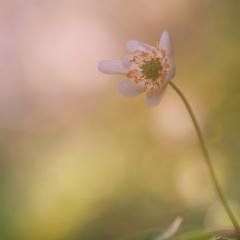 fiori bianchi spontanei primaverili