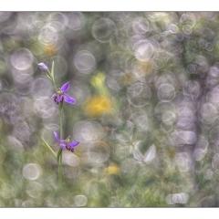 ophrys apifera tilaventina