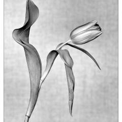 Tulipano in lockdown