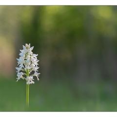 Orchis militaris albiflora
