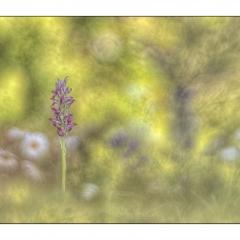 orchys coriophora subsp. fragrans