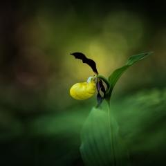 Pianella della Madonna [Cypripedium calceolus]